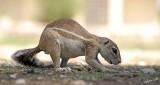 12103 - Squirrel / Etosha NP - Namibia