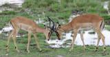 12258 - Impala / Etosha NP - Namibia