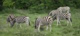 12267 - Zebra / Etosha NP - Namibia