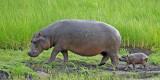 12428 - Hippopotamus (mom & 2 hours(!) old baby) / Chobe NP - Botswana