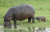 12433 - Hippopotamus (mom & 2 hours(!) old baby) / Chobe NP - Botswana
