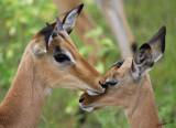 12456 - Impala / Chobe NP - Botswana