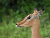 12466 - Impala / Chobe NP - Botswana