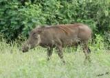 12592 - Warthog / Chobe NP - Botswana