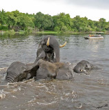 12610 - Hey, don't get so excited... | Elephants / Chobe river - Botswana