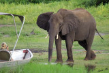 12659 - Can you come closer for a photo... | Elephant / Chobe river - Botswana