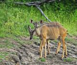 12680 - Lesser Kudu / Chobe river - Botswana