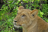 12878 - Lion cub / Victoria falls - Zimbabwe
