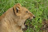 12884 - Lion cub / Victoria falls - Zimbabwe
