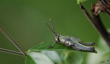 13096 - Locust / Lake Malawi - Malawi