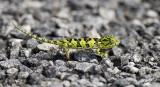 13112 - Chameleon / Lake Malawi - Malawi
