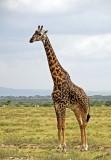 13571 - Giraffe / Serengeti - Tanzania