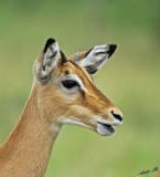 13684 - Impala / Serengeti - Tanzania