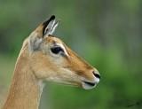 13687 - Impala / Serengeti - Tanzania