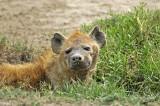 13709 - Hyena / Serengeti - Tanzania