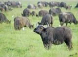 13791 - One of a kind... ;-) | Buffalo / Ngorongoro - Tanzania