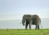 13798 - Elephant / Ngorongoro - Tanzania