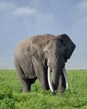 13842 - Elephant / Ngorongoro - Tanzania