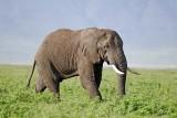 13851 - Elephant / Ngorongoro - Tanzania