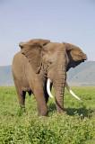 13863 - Elephant / Ngorongoro - Tanzania
