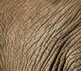13872 - Elephant skin | Elephant / Ngorongoro - Tanzania