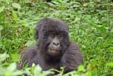 14136 - Silver back gorilla's baby / (DRC) Congo