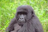 14166 - Silver back gorilla / (DRC) Congo