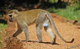 14325 - Who ask for blue balls? | Vervet monkey / Jinja - Uganda