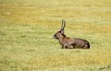 14503 - Waterbuck / Lake Nakuru - Kenya