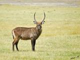 14512 - Waterbuck / Lake Nakuru - Kenya