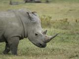 14578 - White rhino /  Lake Nakuru - Kenya