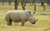 14591 - White rhino / Lake Nakuru - Kenya
