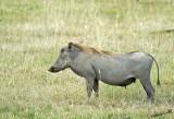 14622 - Warthog / Lake Nakuru - Kenya