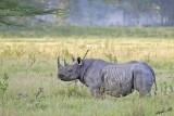 14687 - Black rhino / Lake Nakuru - Kenya