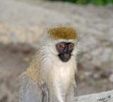 14708 - Vervet monkey / Lake Nakuru - Kenya