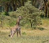 14725 - Baby Giraffe / Lake Naivasha - Kenya