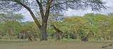 14729 - Giraffes resting / Lake Naivasha - Kenya