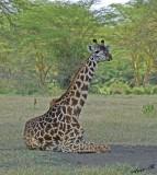 14732 - Giraffes resting / Lake Naivasha - Kenya