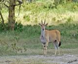 14740 - Eland / Lake Naivasha - Kenya