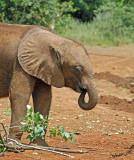 14793 - Baby elephant / The David Sheldrick Wildlife Trust - Nairobi - Kenya