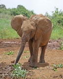 14810 - Show-off... | baby elephant / The David Sheldrick Wildlife Trust - Nairobi - Kenya