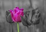 15006 - Tulipa / Kew Gardens - Richmond - England