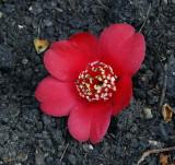 15012 - Camellia japonica / Kew Gardens - Richmond - England