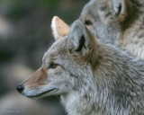 Not-so-Wily Coyotes II