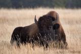 Lazing Bison
