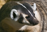 Bloom the Badger