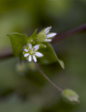 Common Chickweed