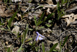 Birdsfoot Violet in its setting