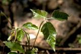 Poison Ivy!