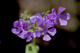 Wild Sweet William (Phlox Maculata)
